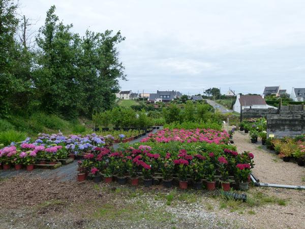 la p pini re du bord de mer cultive de belles plantes pour les jardins du pays d iroise finist re. Black Bedroom Furniture Sets. Home Design Ideas