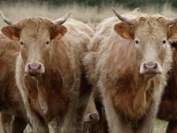 Les Landes Celtes : Ici les vaches ont des cornes