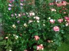 Gros succès populaire de la fête des fleurs à Ploudalmezeau.