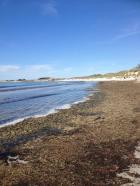 Portsallet Landunvez : Les algues vertes prolifèrent sur les plages et dans le port