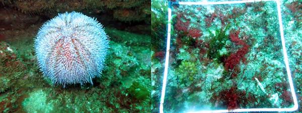Zoom espèce (Echinus  esculentus)  et quadrat station B - CIBPL