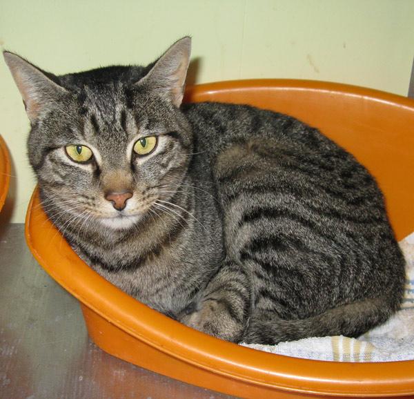 Le chat tigré né en 2007 est calme.