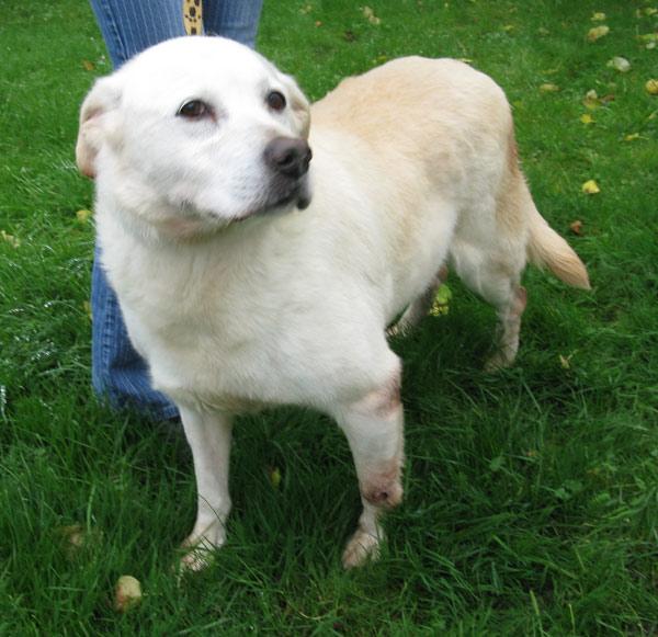 Vichy, labrador sable née en 2004 est une chienne douce et calme.