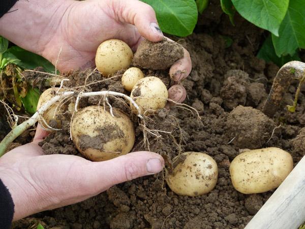 Les pommes de terre nouvelles de chez Patrick à La Baule