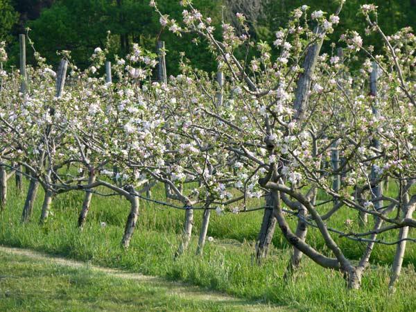 En septembre les pommes dans le verger de Patrick à La Baule