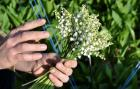 34 000 brins de muguet offerts dans les Ehpad de Loire-Atlantique