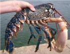 Le COREPEM assure le  suivi du stock de homards en Pays de la Loire : 3ème année !